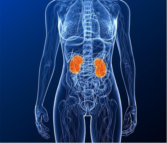 Ausbildungsbericht Ernährungstherapie – Teil 3 | Die Niere - Carrots ...